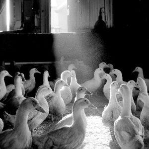 Goosnargh Ducks (Avg. 2.8kg – 3kg)